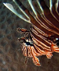 Lionfish, Ningaloo Reef - Western Australia by Penny Murphy 